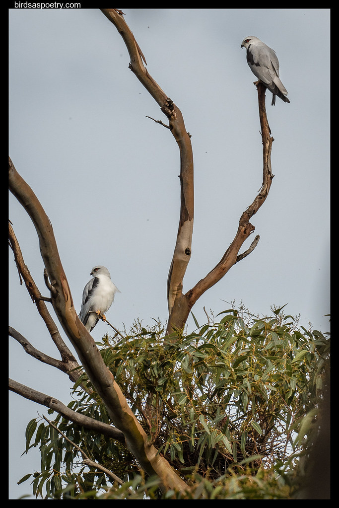 Black-shouldered Kite: The Happy Couple—Staying at Home