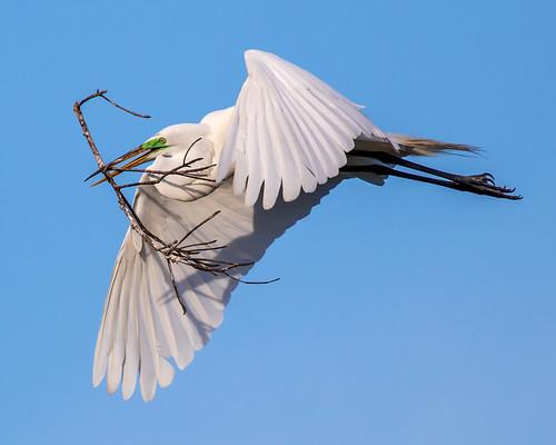 outdoor st pete dennis adair nature wildlife 7dm2 7d ii ef100400mm canon florida bird bif flight