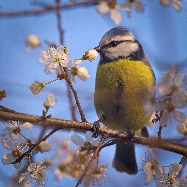 Spring blue tit