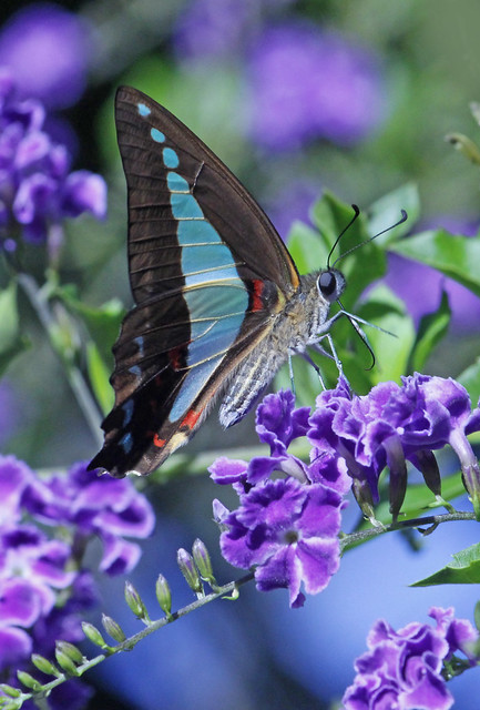 Blue Triangle Butterfly 014