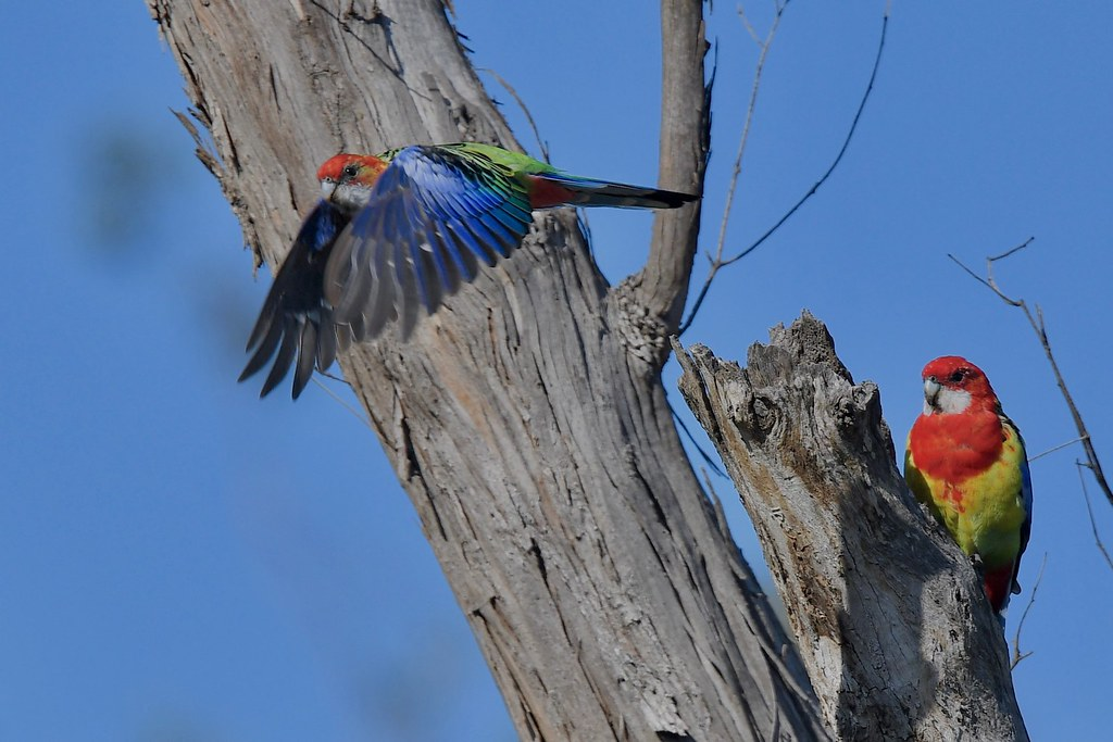 Eastern Rosellas ( looking for the new home )