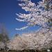 Cherry blossoms - ソメイヨシノ #6