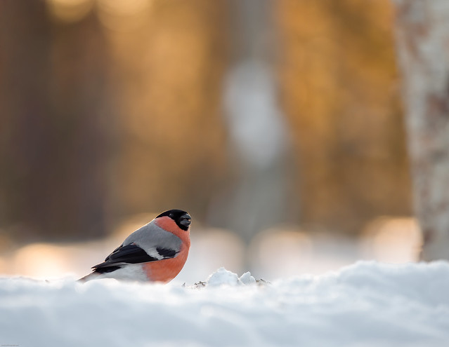 Bullfinch in the golden glow of the morning light!