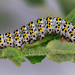 Caterpillar of Mullein moth