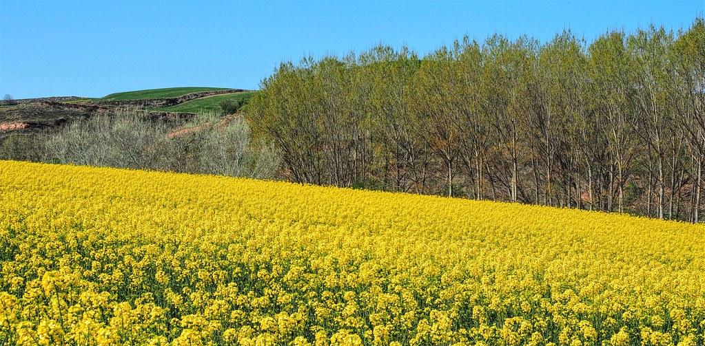 Campos de colza en La Rioja.  Hace un año.