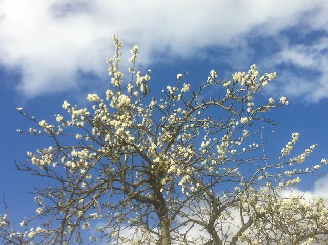 Last day of March, morning walk: apple blossom