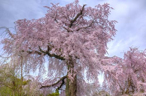 31-03-2020 Kyoto, 'Gion Shidare-Sakura' vol01 (2)