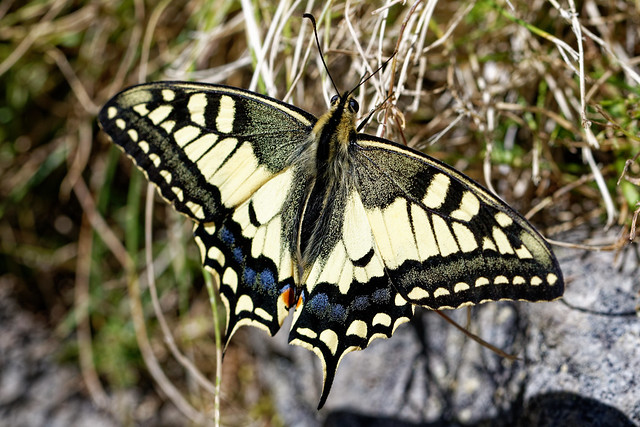 Papilio machaon - Grand porte-queue