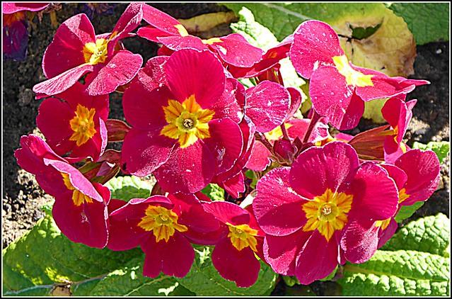 Red Primula ...
