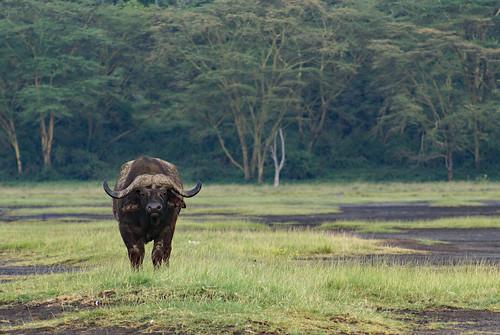 Lone bull