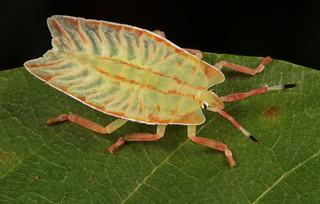 Giant Shield/Stink Bug Nymph (Tessaratomidae)