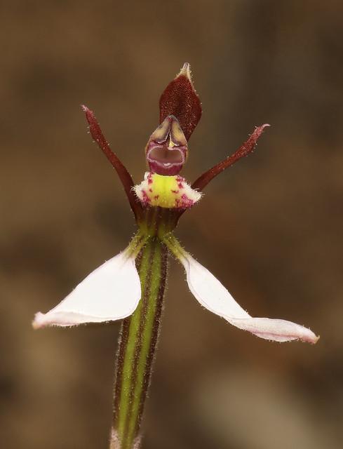 Parson's Band orchid (Eriochilus cucullatus)