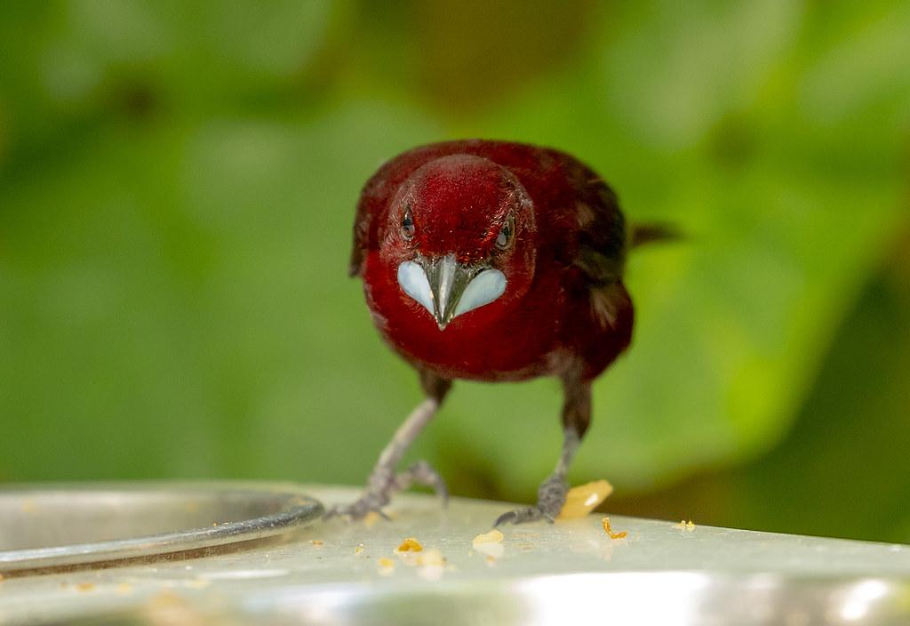 Silver-beaked tanager (Ramphocelus carbo)