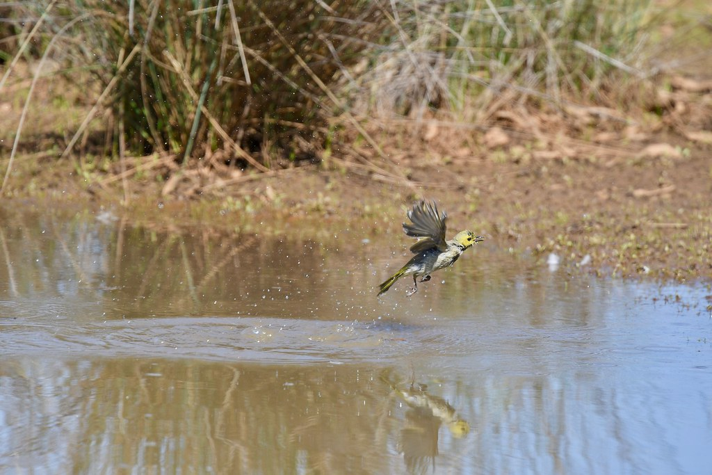 White-plumed Honeyeater ( Bath time )