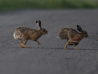 Brown Hares . Archive raid .