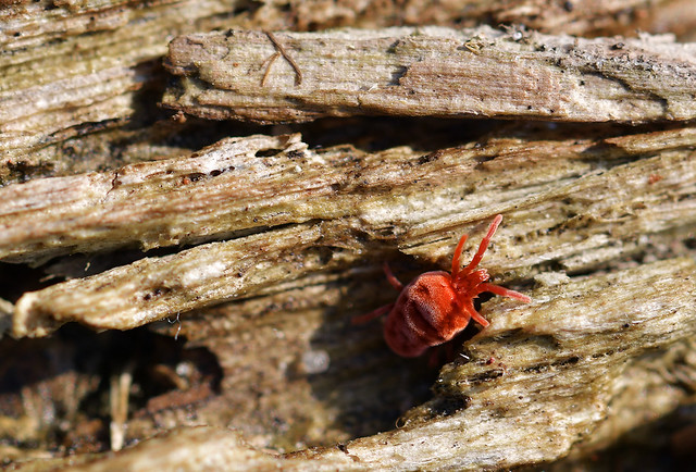 red velvet mite // rote Samtmilbe (Trombidium holosericeum)