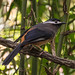 White-eared Sibia on the Maharajah Jungle Trek