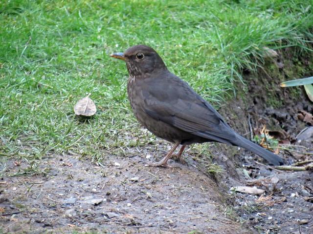 12Feb20 Female Blackbird
