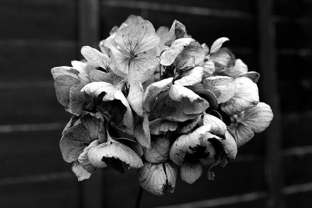 Hydrangea dead head (91/366)