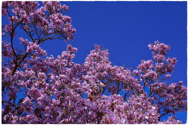 The old Magnolia tree is blooming again :-)