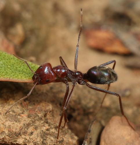 Meat Ant (Iridomyrmex purpureus)
