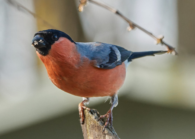 Mr Bullfinch