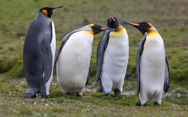 Penguin's gossip