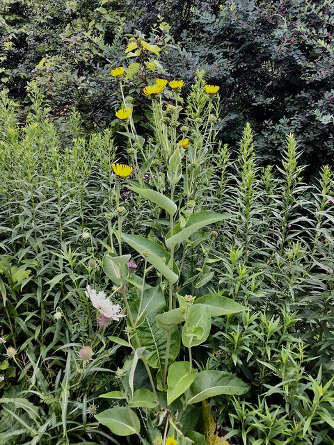 Teasels , wild flowers and weeds on Duffins trail in Discovery Bay , Martin's photography's , Ajax , Ontario , Canada , July 30. 2019