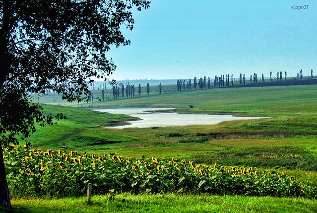 Moldovan Sunflowers