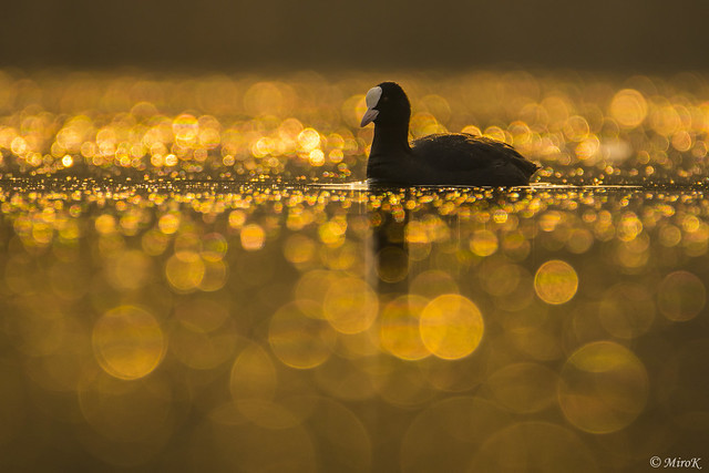 Coot on a golden pond