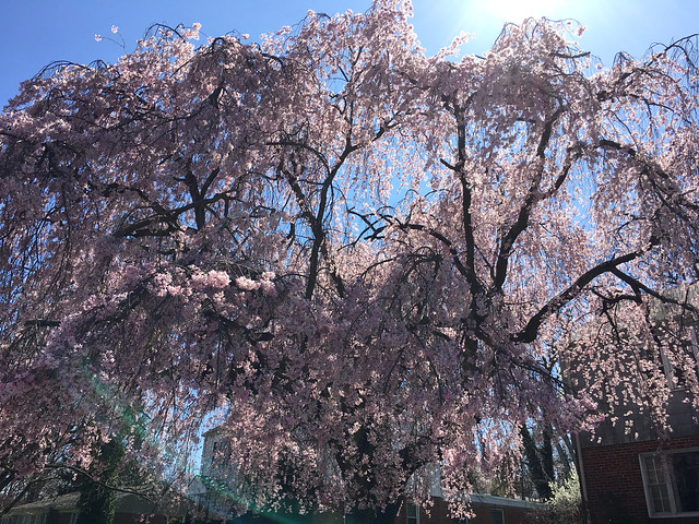 Weeping Cherry makes me smile