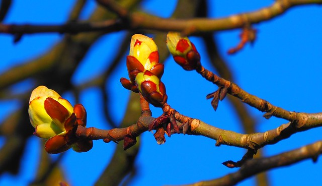 Buds of Chest Nut Tree - Moenchbruch near Airport Frankfurt