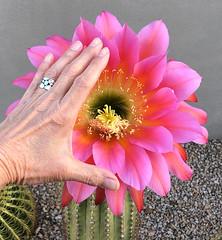 "Echinopsis ""Flying Saucer"" in Bloom"