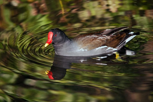 Moorhen in reflections on the River Ver