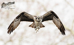 Osprey 3_31 1