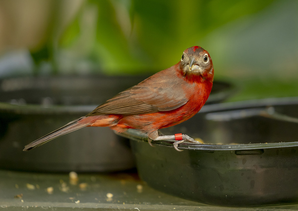 Red pileated finch (Coryphospingus cucullatus)