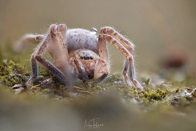 Spider carrying drop of water