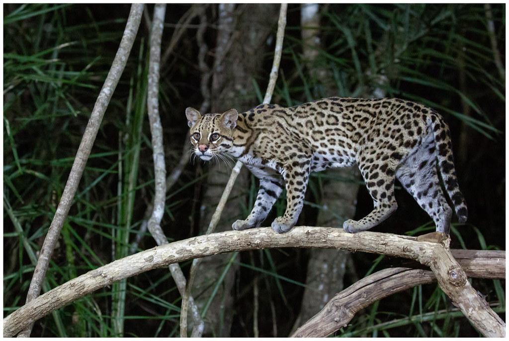 Brazilian ocelot - Ocelot (Leopardus pardalis) ...