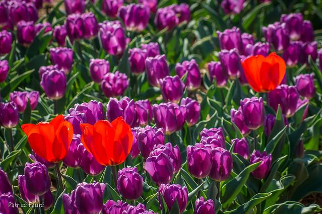 Les champs de Tulipe de Lurs (04) Mars 2019