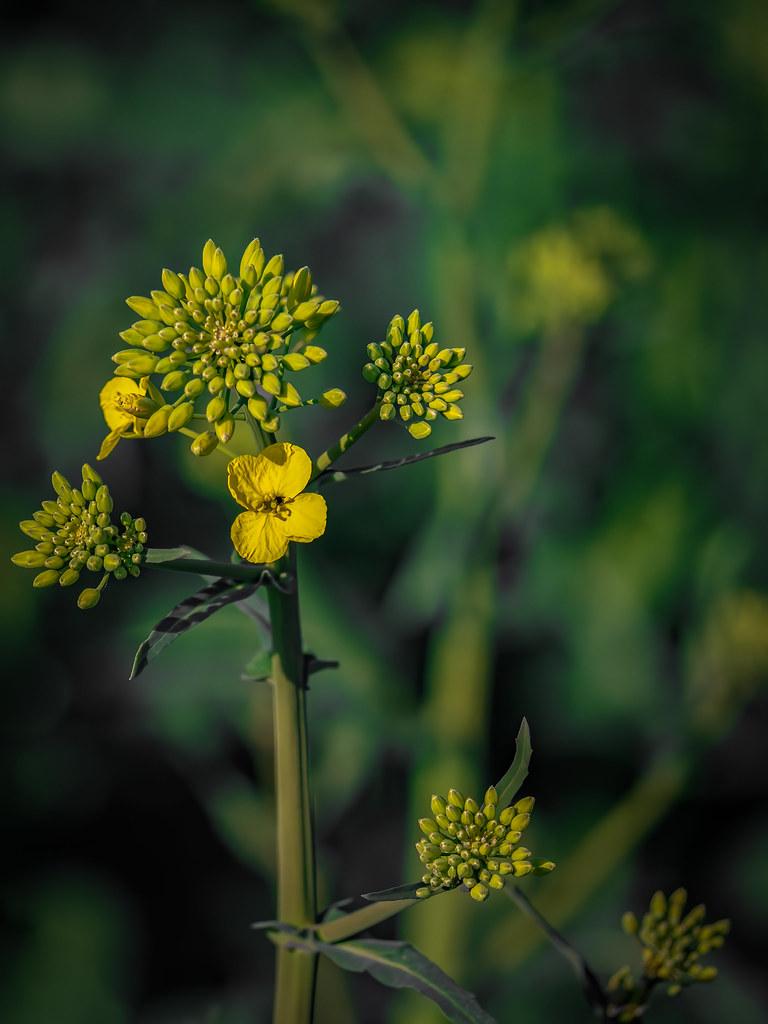 Jeune fleur de colza... 49721143888_46652d2c44_b