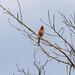 Finch Mulege Baja Mexico.jpg