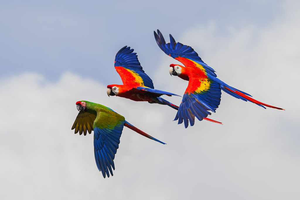 Military and Scarlet Macaws in colourful display flight.