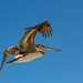Pelican with fishing hook in its wing.jpg