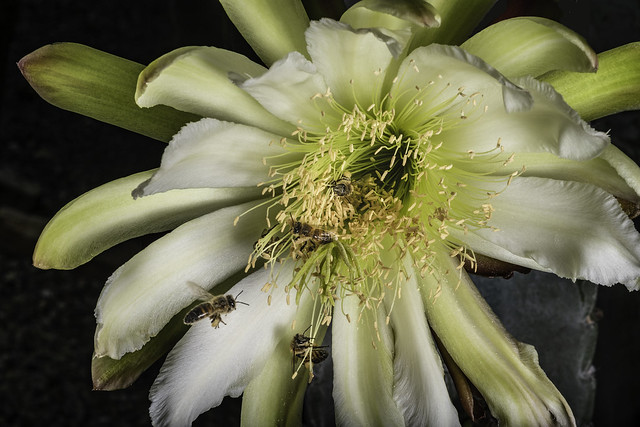 Cactus Flower With  Pollinators In The Light