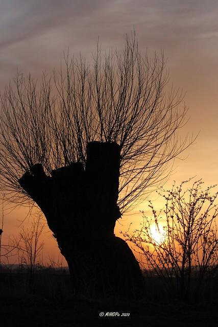 Weidenbaum im Gegenlicht