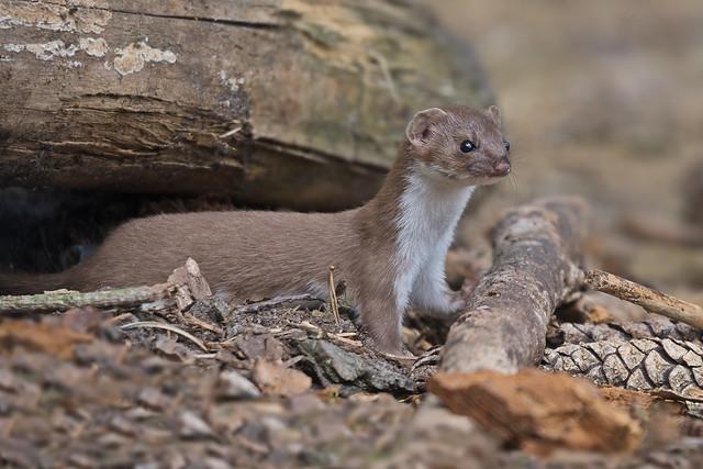 Wezel - least weasel - Mustela nivalis
