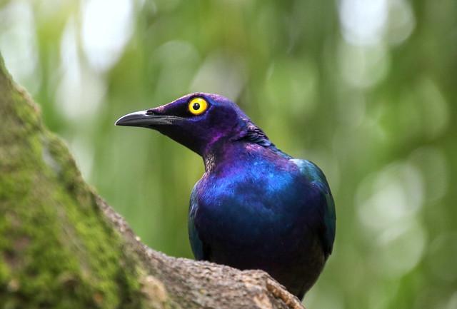 Purple starling (Lamprotornis purpureus)