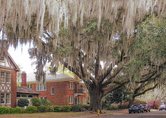 Spanish Moss / Savannah Georgia