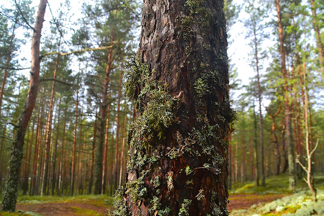 Lichens on the pine trunk