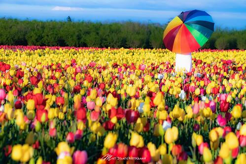 flower flowers color spring wood show tulip fields farm agriculture oregon tripod landscape